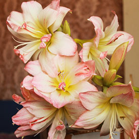 Amaryllis Lily Double (White Pink) Plant
